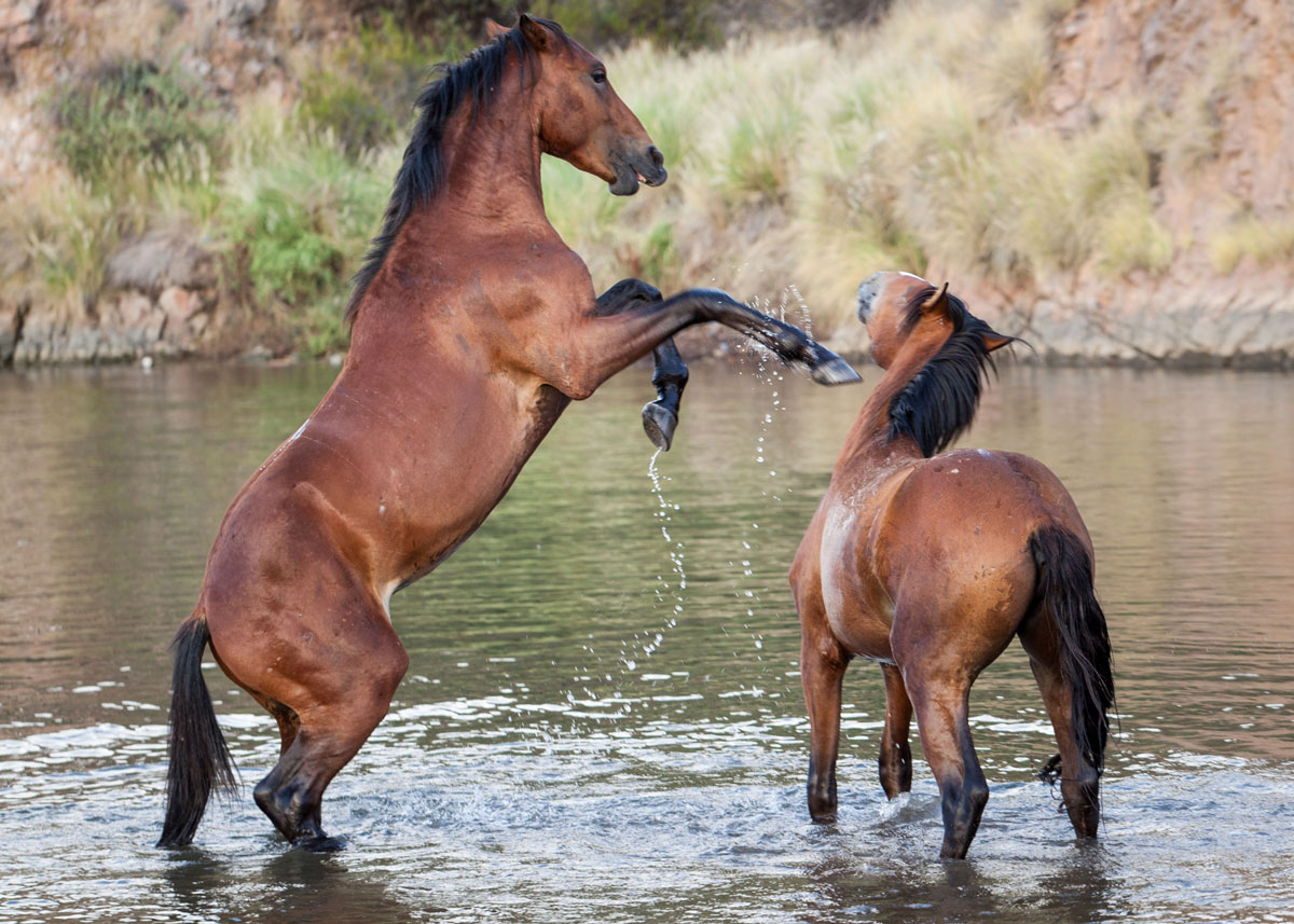 Despite 2016 law, Salt River horses remain unmanaged